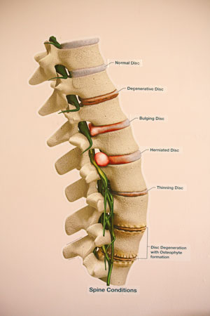 Anatomical Illustration of the Spine